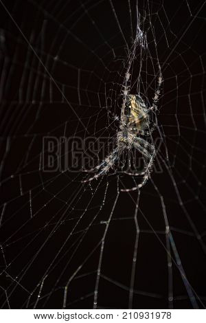 Spider in a black background. Spider on web a macro wildlife background. Macro spider on a black background. Triangle horror cobweb or spider web isolated on black background, vertical photo