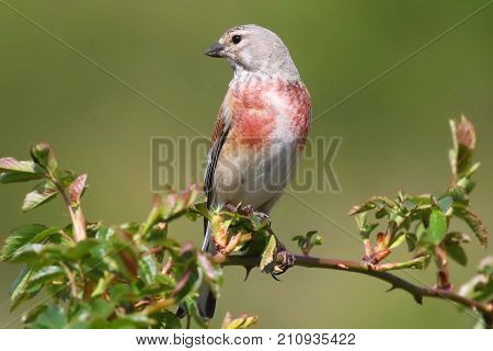 The linnet is a small passerine bird of the finch family, Fringillidae. It derives its scientific name from its fondness for hemp. Ukraine. 2017