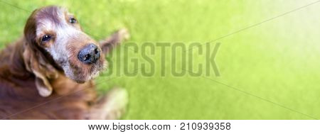Web banner of a cute old Irish Setter dog
