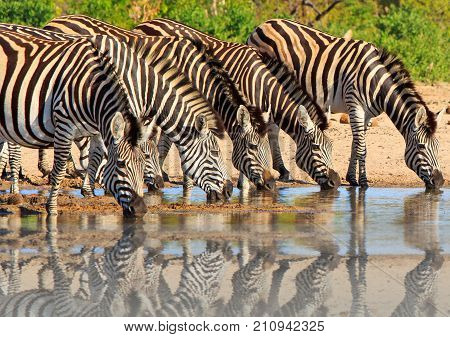 Dazzle of zebras drinking with a good water reflection in Hwange National Park Zimbabwe