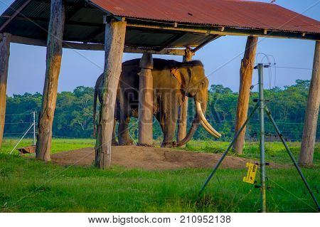 POKHARA, NEPAL - NOVEMBER 04, 2017: Chained elephant under a structure at outdoors, in Chitwan National Park, Nepal, cruelty concept.