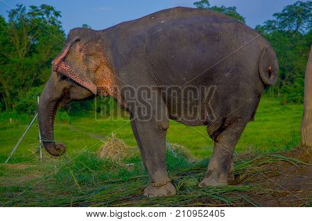 Close up of beautiful sad elephant chained in a wooden pillar at outdoors, in Chitwan National Park, Nepal, sad paquiderm in a nature background, animal cruelty concept.