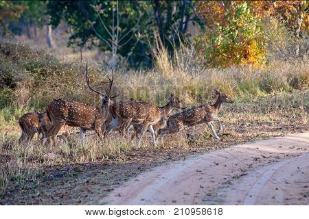 Beautiful image of group of deers at Panna National Park Madhya Pradesh India. Panna is located in Panna and Chhatarpur districts of Madhya Pradesh in India. It is a tiger reserve.