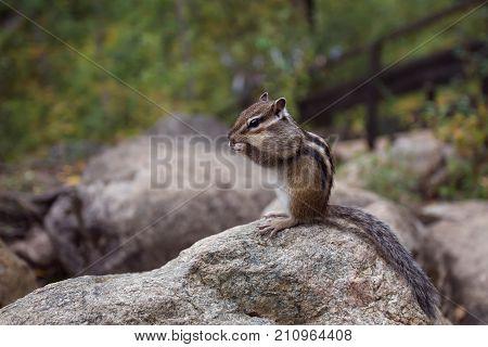 a Chipmunk eats a nut in a forest in the taiga. Buryatia