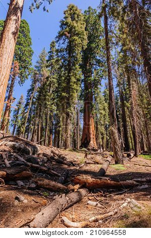 Giant Sequoia Trees in the General Sherman Grove in Sequoia National Park, California, USA
