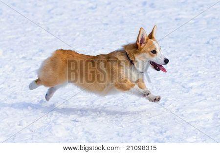 Dog breed Welsh Corgi Pembroke runs through snow poster