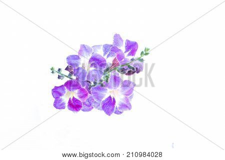 Beautiful purple flowers on white background. Asystasia gangetica (Ganges Primrose Ganges River asystacia Chinese violet Coromandel Creeping foxglove Baya Yaya)