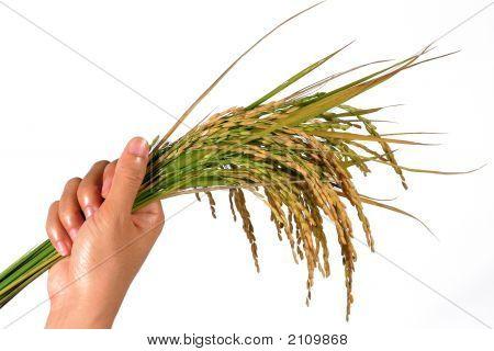 Sheaf Of Rice
