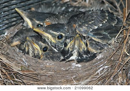 Baby robins in nest close up