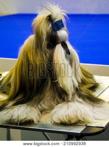 Shih Tzu . Dog of breed shih-tzu