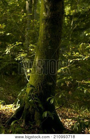 The trunk of yew covered with moss and wrapped of bindweed in the sunlit forest thicket