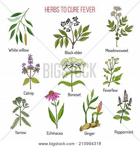 Herbs for fever cure, hand drawn vector illustration