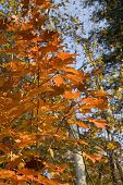 colorful leaves in quebec forests, canada  at the peak of fall foliage. poster