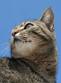 Gray tabby cat set against blue sky view from below. poster
