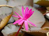 image of beautiful Pink blooming lotus flower poster