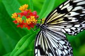 Idea Leuconoe - Rice Paper Butterfly at lunch poster