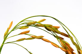 Branch Of Rice