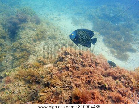 A Beautifully Colored French Angelfish Swimming Around The Rock And Coral Reefs In The Ocean.  Pomac