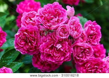 Beautiful Shrub Climbing Rose The Excelsa, Close-up