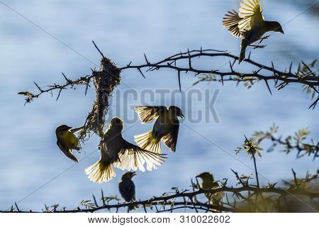 Small Group Of Spectacled Weaver Building Nest In Kruger National Park, South Africa ; Specie Ploceu