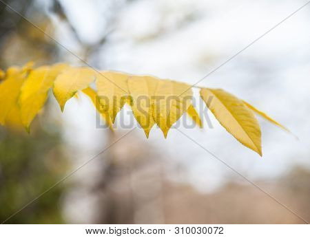 Yellow Leaves Of The Ash Tree (fraxinus) In The Autumn Day. Golden Foliage.