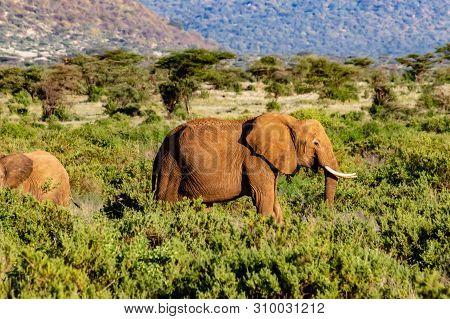 An Old Elephant In The Savannah Of Samburu Park In Central Kenya