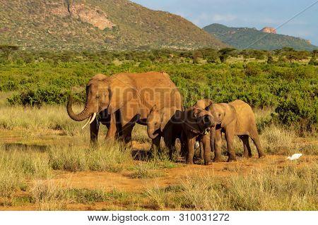 Elephant Family In The Savannah Of Samburu Park In Central Kenya