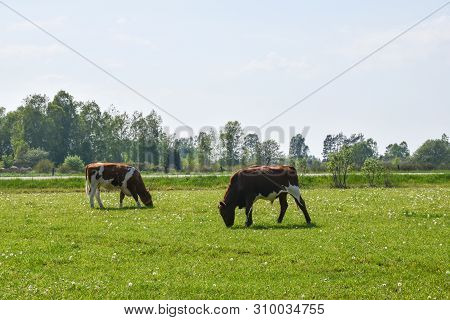Grazing Cattle In A Green Pastureland By Spring Season At The Swedish Island Oland