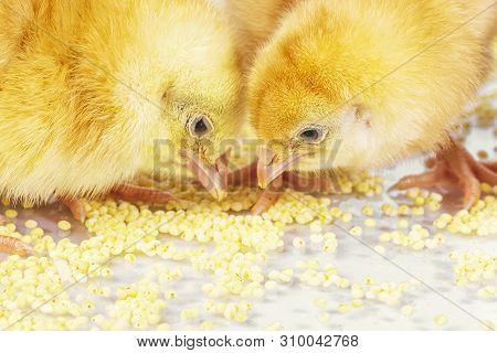 Little Newborn Chickens. Yellow Chickens Eat Millet.