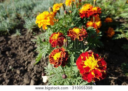 Florescence Of Tagetes Patula In Late October