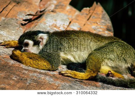 Squirrel Monkey Are New World Monkeys Of The Genus Saimiri, Living In The Tropical Forests Of Centra