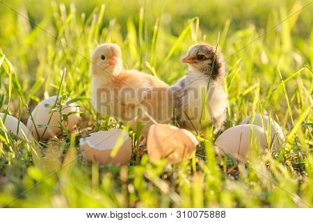 Two newborn chicken with cracked eggshell eggs. Sunny grass background, golden hour, country rustic style poster