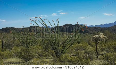 Wide Shot Of An Ocotillo Cactus Near Ajo, Az