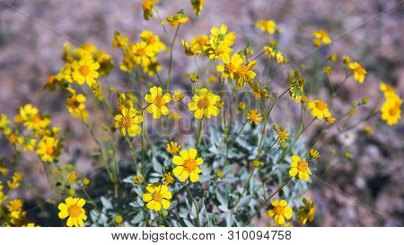 Yellow Brittlebush Flowers Near Ajo In Arizona