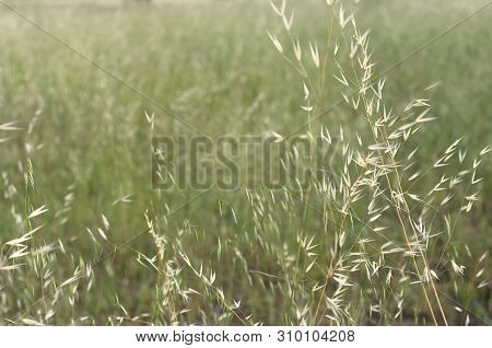 The Oat (avena Sativa), Sometimes Called The Common Oat, Is A Species Of Cereal Grain Grown For Its