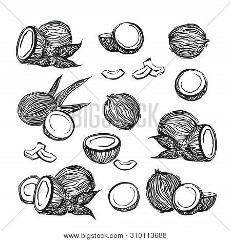 Hand Drawn Coconuts Outline Sketch Set. Vector Black Ink Drawing Coco Fruits. Graphic Illustration,