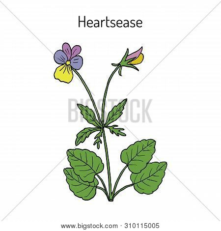 Heartsease Viola Tricolor , Or Johnny Jump Up, Heart S Delight, Tickle-my-fancy, Jack-jump-up-and-ki