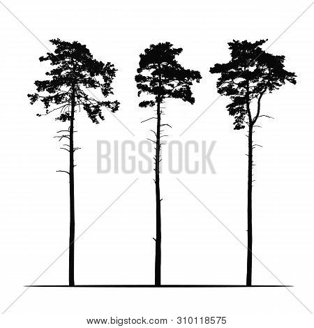 Set Realistic Illustration Of Tall Coniferous Pine Trees. Isolated On White Background - Vector