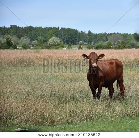 Curious Brown Young Bull Watching In A Grassland