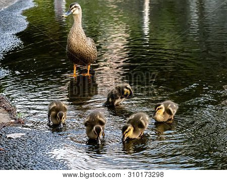 A Family Of Eastern Spot-billed Ducks, Anas Zonorhyncha, Waddle Through The Shallows Of A Water Feat