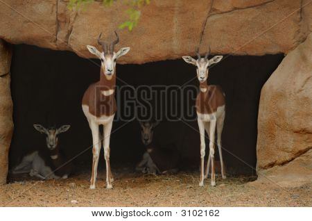 Gazelles At Home In The Zoo