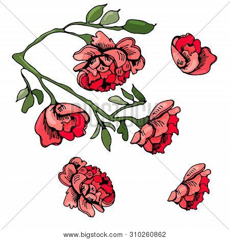 Collection Of Elements  Of Blossoming Red  Flowers Of Rose. Hand Drawn Ink  And Colored Sketch  Isol
