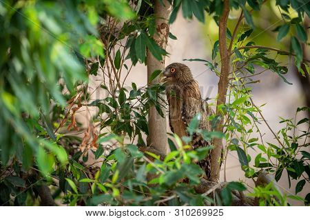 Brown Fish Owl Or Bubo Zeylonensis Sitting On A Tree At Forest Of Central India
