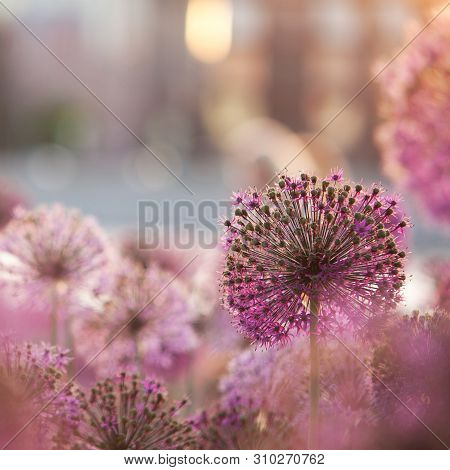 Beautiful Flowers Of Allium, Adorning The Summer Sunny Park Or Garden