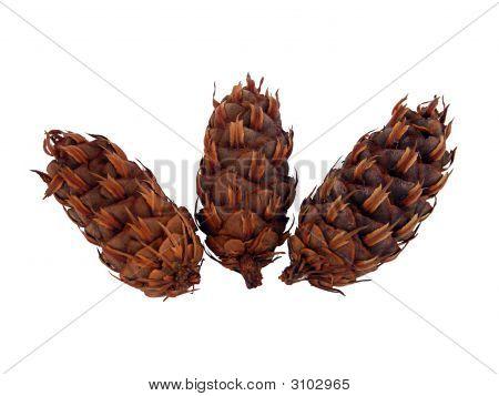 Conifer Plugs