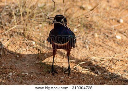 Blue Bird With Twigs In Beak In Samburu Park Kenya