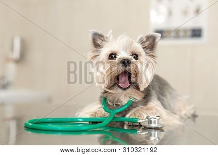 A Cute Dog Breed Yorkshire Terrier Is Lying On The Table With A Stethoscope In A Veterinary Clinic.