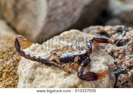 Scorpion Sitting On A Stone Close Up