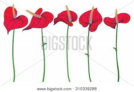 Vector Set Of Outline Tropical Plant Anthurium Or Anturium Flower With Stem Isolated On White Backgr