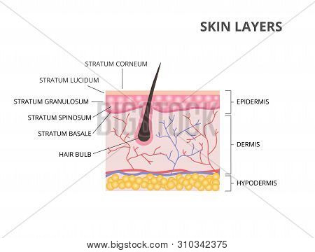 Skin Layers: Epidermis, Dermis, Hypodermis Flat Vector Illustration
